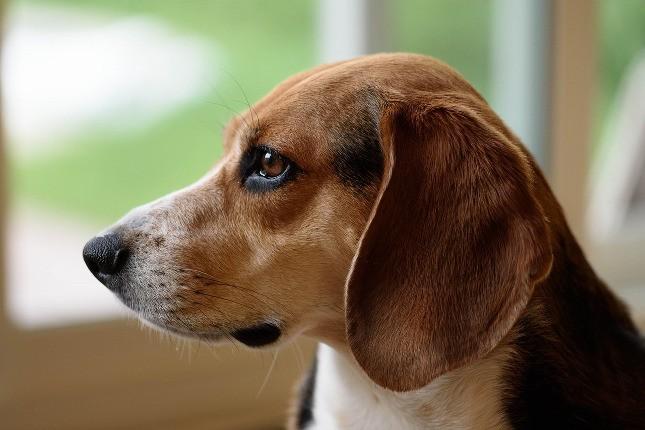 top-10-dog-breeds-beagle