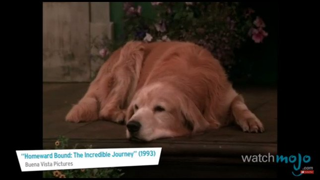 top-10-dog-breeds-golden-retreiver