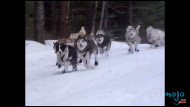top-10-dog-breeds-siberian-husky