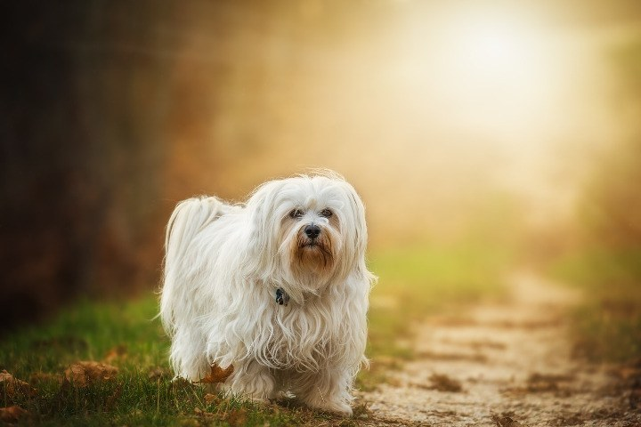 Best Dogs For Apartments Havanese