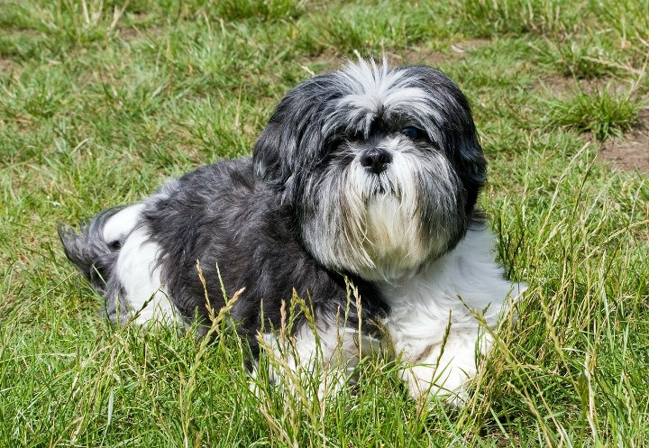 Best Dogs For Apartments Shih Tzu