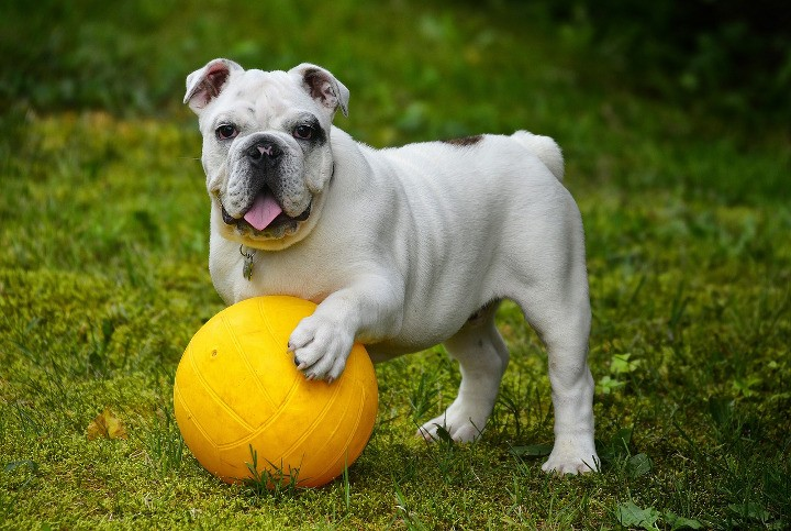 Best Dog Breeds For Apartments English Bulldog