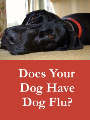 Does Your Dog Have Dog Flu - Get The Facts On Symptoms and Treatment