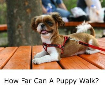 How Far Can A Puppy Walk?