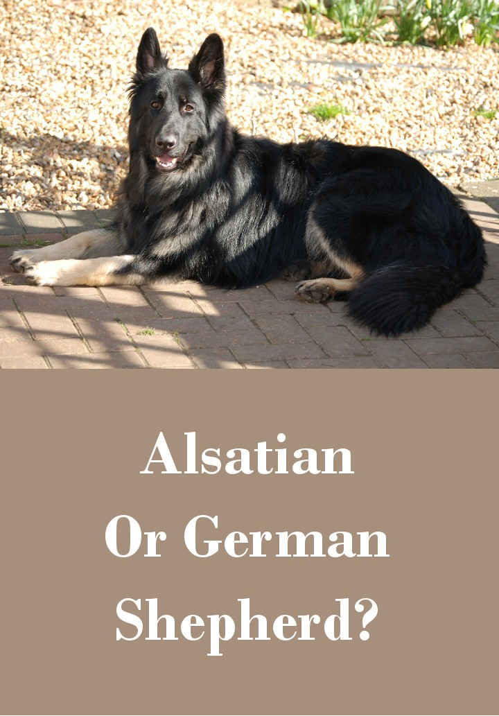 The Alsatian Dog – Is This A Real Breed?