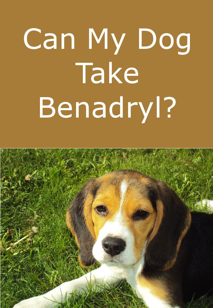 Can Dogs Take Benadryl