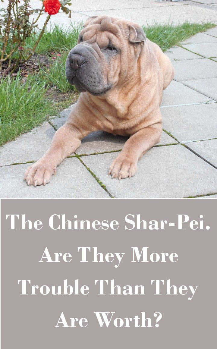 The Chinese Shar-Pei - Are They More Trouble Than They Are Worth?