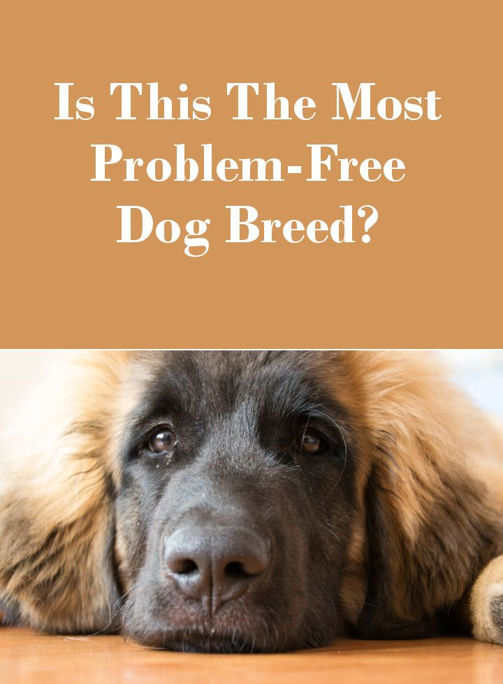 The Leonberger - The Most Problem Free Dog Breed