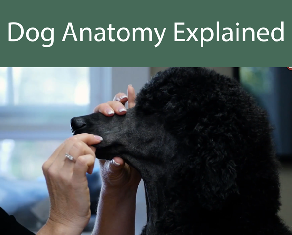 Dog Anatomy Explained