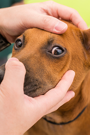 Common Eye Problems in Dogs