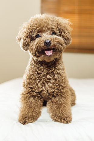 Toy Poodle Breed Information