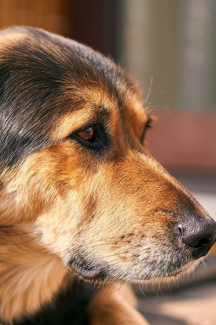Do Dogs Have Tonsils?